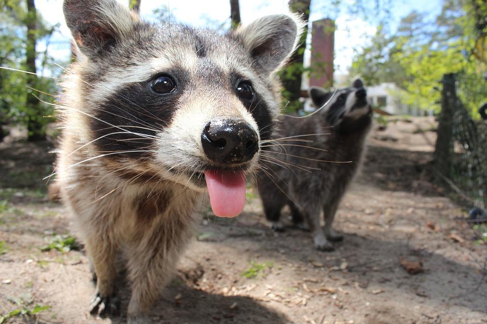 zombie raccoons - pixabay